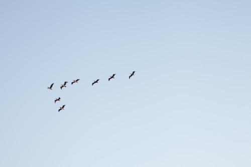Birds flying in formation across a clear sky