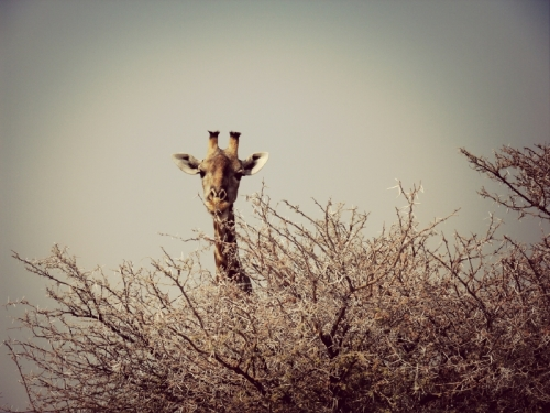 A lone giraffe peeking above a tree line