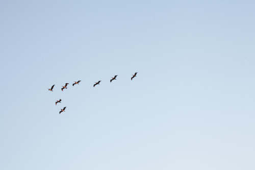 Birds flying in formation across a clear sky